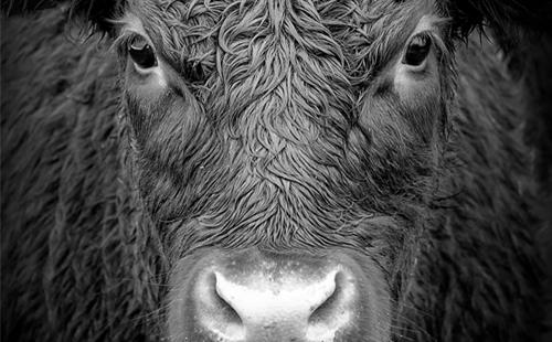 Status Report: Aging Bull